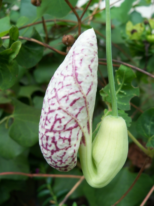 Aristolochia littoralis flower (Dutchman's Pipe)