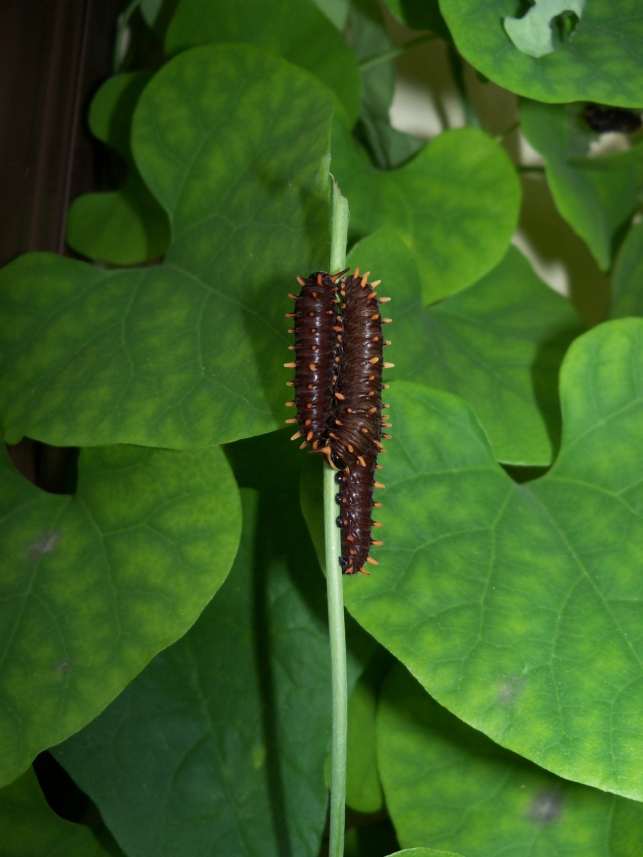 Three B. polydamas caterpillars eating Aristolochia littoralis