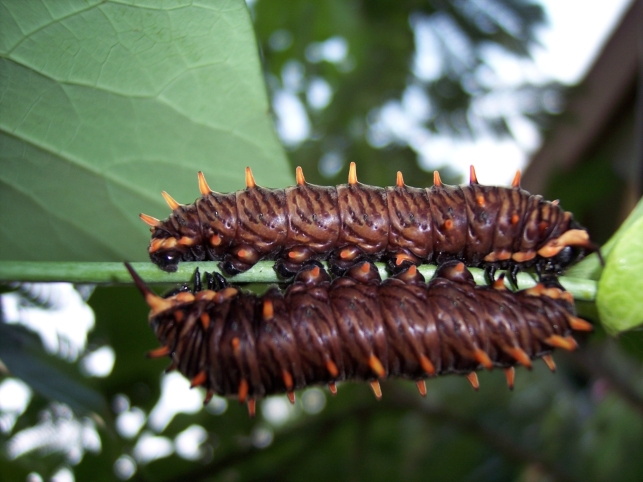 Two large B. polydamas caterpillars resting