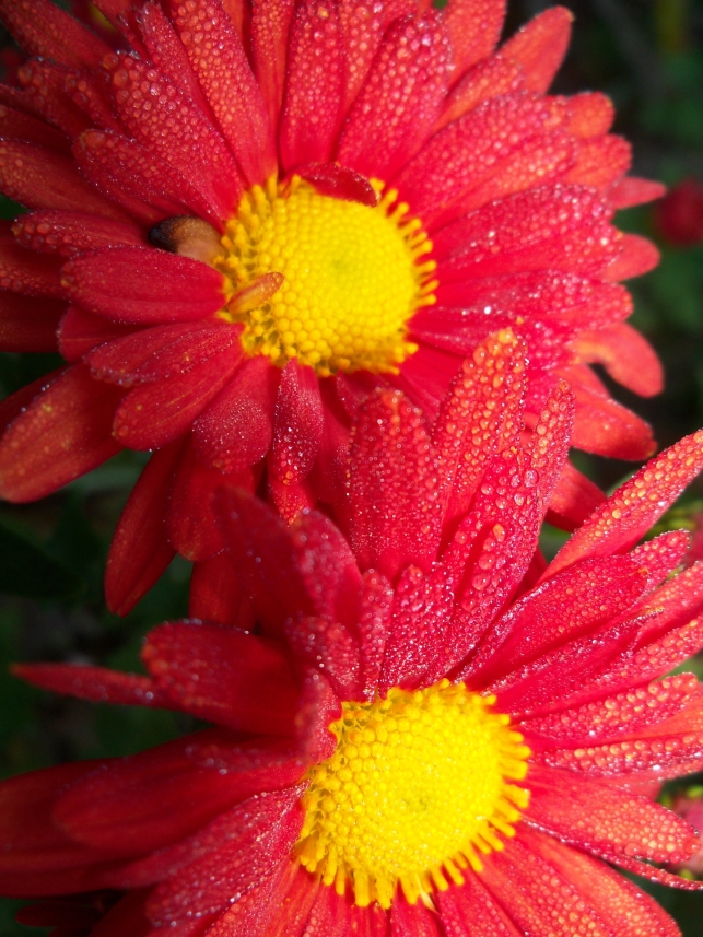 Dewdrops on Chrysanthemums 1