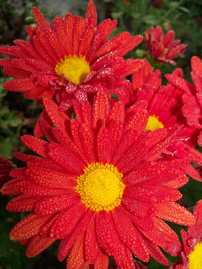 Dewdrops on Chrysanthemums 3