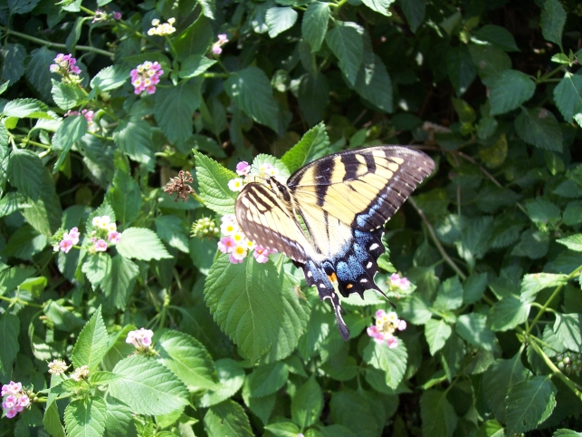 Papilio glaucus (Eastern Tiger Swallowtail) feeding on Lantana
